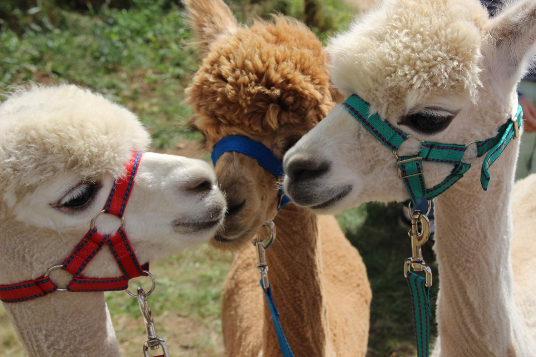Picture alpacas kissing at Fairytale Farm